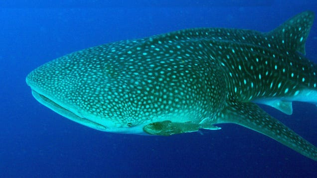 Whale Sharks Have Eyeballs Covered in Tiny Teeth