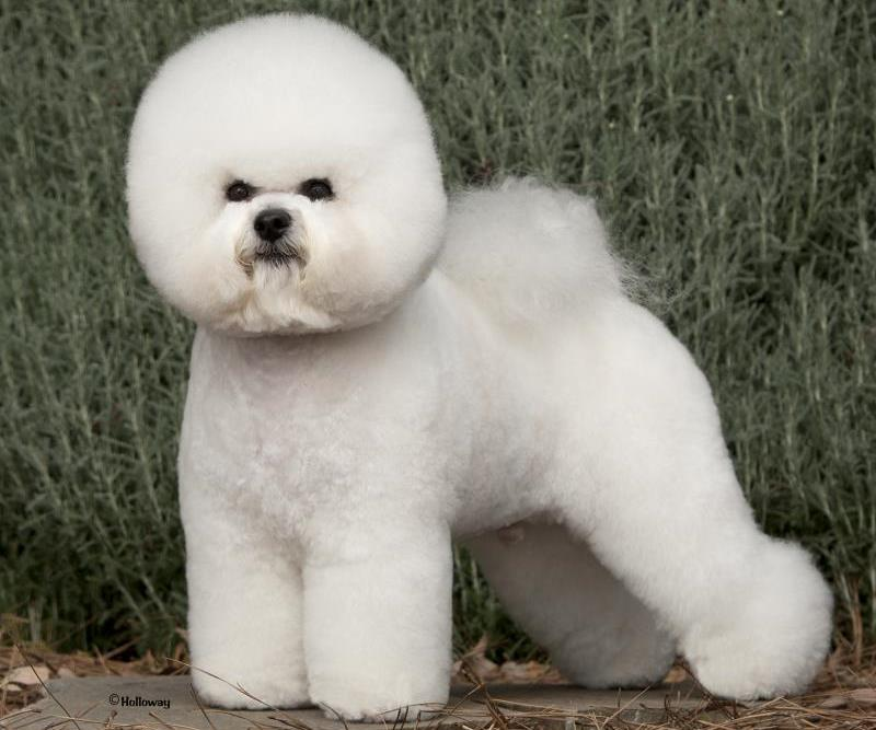 Illustration for article titled Neutering Is Not The Worst Thing That Ever Happened To This Bichon
