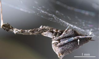 Illustration for article titled This Spider Catches Prey With a Web of Electrically Charged Silk