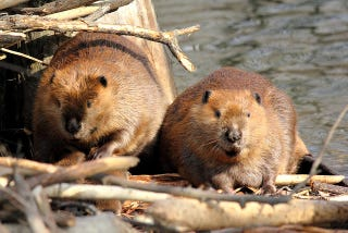 Illustration for article titled European Beavers Mate For Life; North American Beavers Prefer Free Love