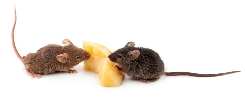 Illustration for article titled Male Mice Sing Fancy Tunes to Woo the Ladies