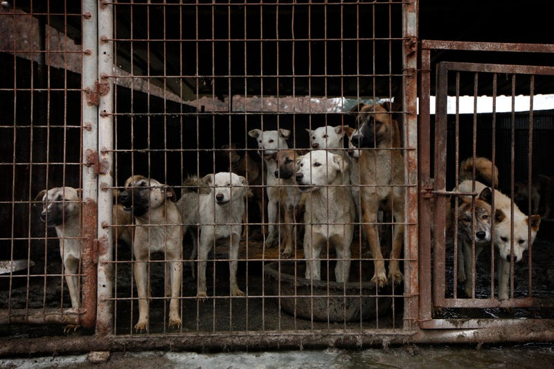 Dogs are shown locked in a cage at a dog meat farm in Wonju, South Korea on Monday, Nov. 21, 2016. Photo credit: Woohae Cho/AP Images for The Humane Society of the United States.