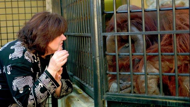 RIP Chantek, the Signing Orangutan Who Was Just Like Us