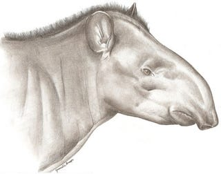 Illustration for article titled _Tapirus kabomani_, the fifth species of extant tapir