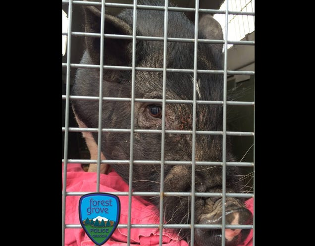 Cops Nab Notorious Hog Outlaw  Piggy Smalls  After Months on the Run