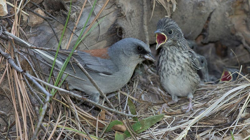 A baby bird (right) presents a compelling argument to its parent (left) about why it should stay in the nest a bit longer.