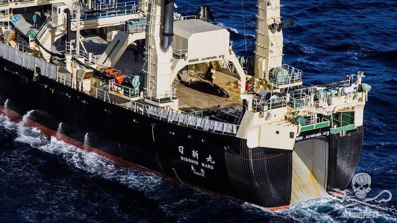 Japanese whaling ship Nisshin Maru with a captured minke whale on deck. (Image: Sea Shepherd)