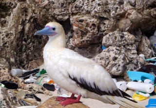 Illustration for article titled Seabirds Are Eating Tons of Plastic, and the Problem is Getting Worse