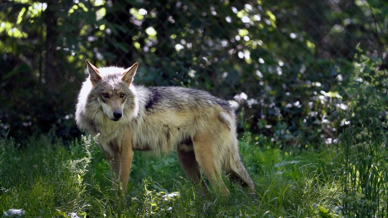 The Mexican gray wolf is protected under the Endangered Species Act.