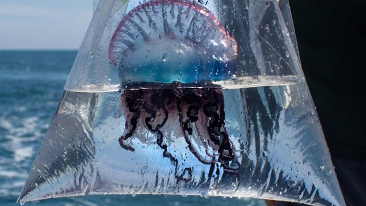 best dating portuguese man of war sting effects