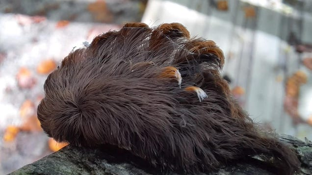 A Caterpillar With Vomit-Inducing Poison Fur Is Taking Over Virginia