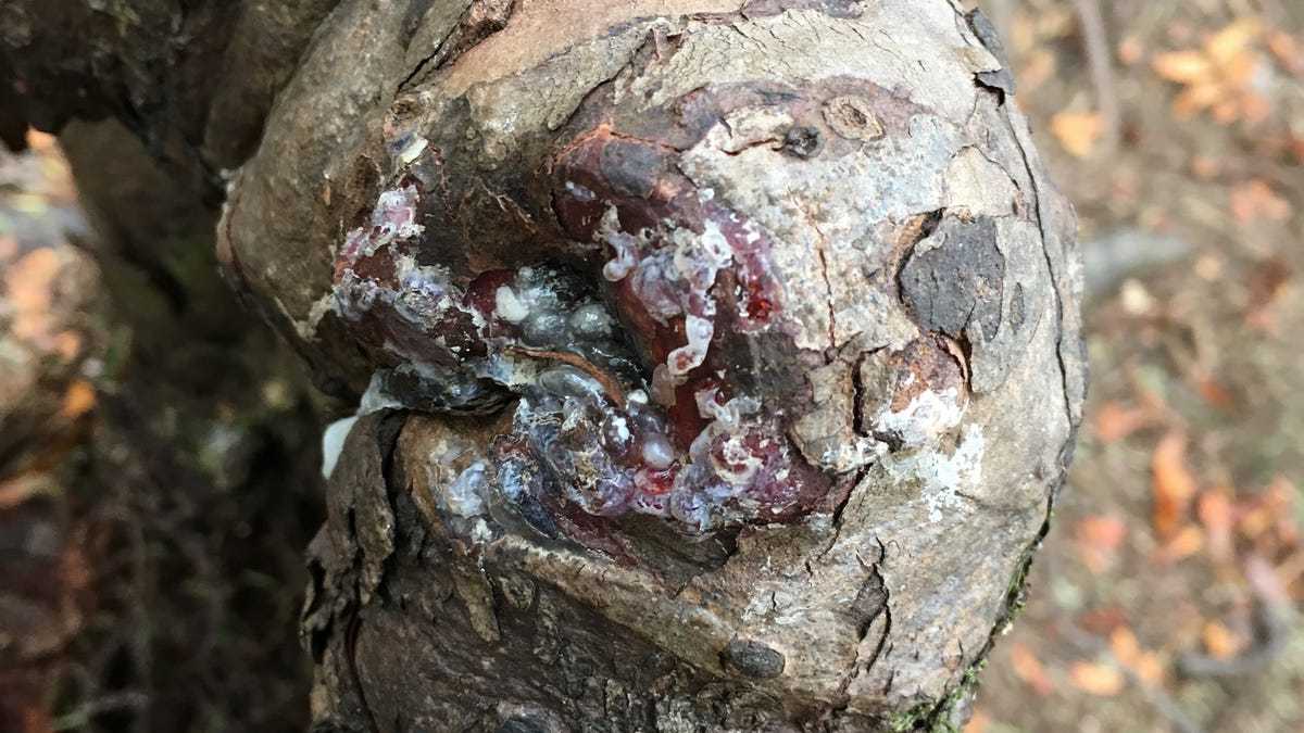 Undead Tree Stump Is Being Kept Alive by Neighboring Trees