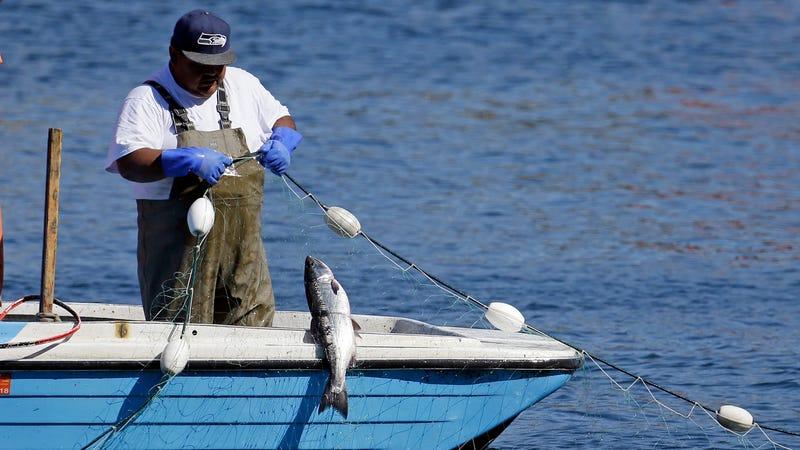 A fisherman catches a salmon in Shilshole Bay just outside the Ballard Locks in Seattle. Photo: AP