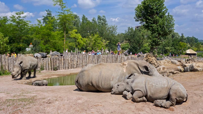 Environmental Win Conservationists Are Taking White Rhinos Off The