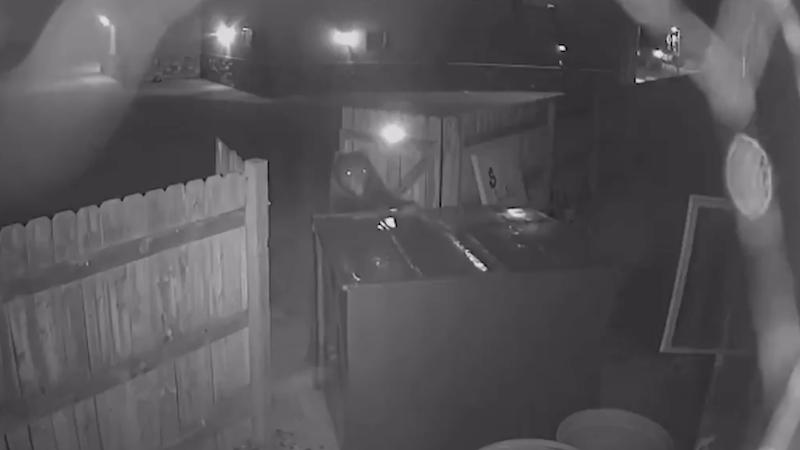 Un oso en Lyons, Colorado intentó llevarse un contenedor de basura a medianoche.