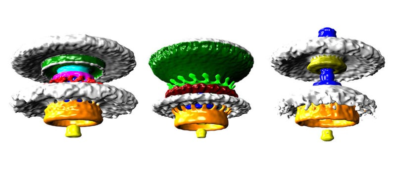 Illustration for article titled These Are the First-Ever High-Res Images of Naturally Occuring Biological Motors