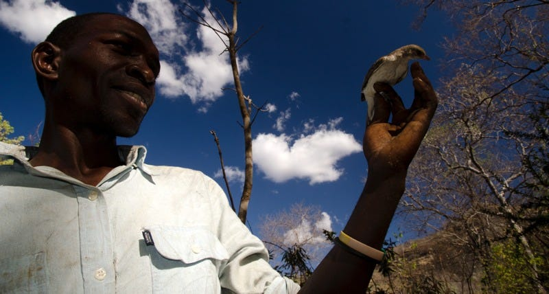 Yao honey-hunter Orlando Yassene holds a female greater honeyguide temporarily captured for research in the Niassa National Reserve, Mozambique. (Images via University of Cambridge)