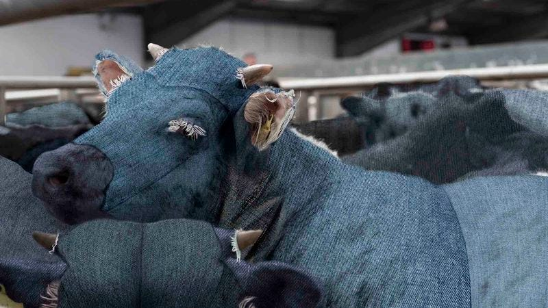 Illustration for article titled Levi's Factory Implicated In Cruel Treatment Of Denim Cows