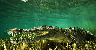 Illustration for article titled Is A Rise In Crocodile Hybrids Endangering The Cuban Crocodile?