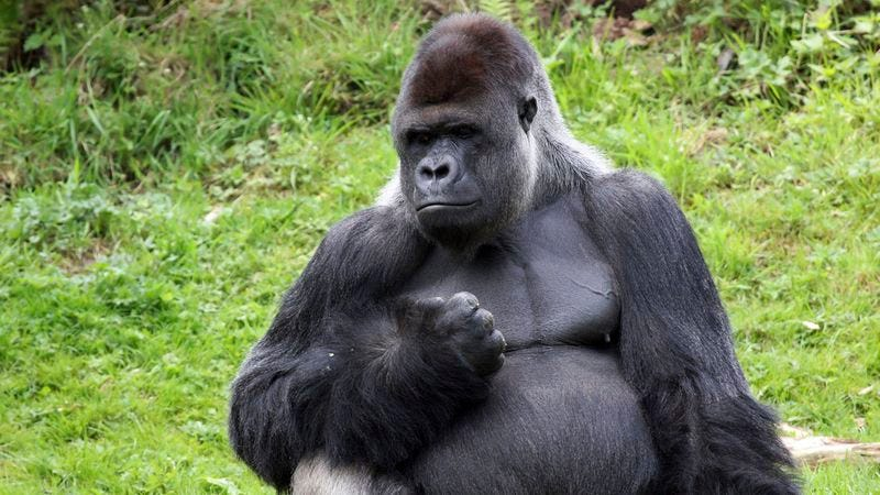 Illustration for article titled A Miracle Of Nature! Meet The Gorilla Who Keeps Declaring 'I Am God!' In Sign Language