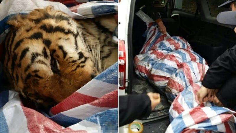 Illustration for article titled Police Find Tiger In A RAV4 During Traffic Stop