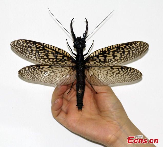 Hallan En China El Insecto Acuático Más Grande (y
