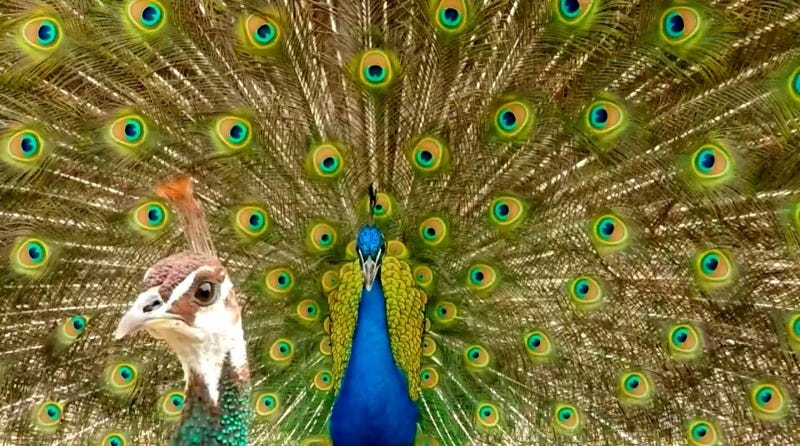 Hey, baby, check out my plumage! A male peacock struts his stuff for a peahen. Image: Roslyn Dakin/PLOS One.