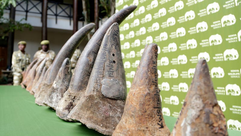 The horns of some of the black rhinos who died. RIP.