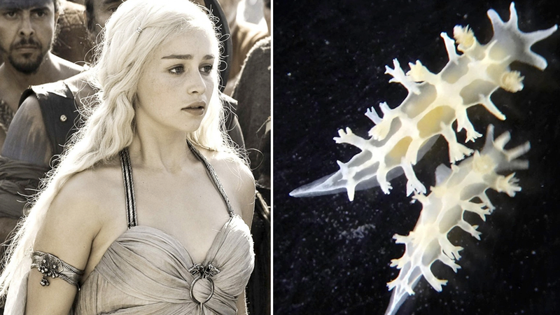 Illustration for article titled New species of sea slug named after Khaleesi from 'Game of Thrones'