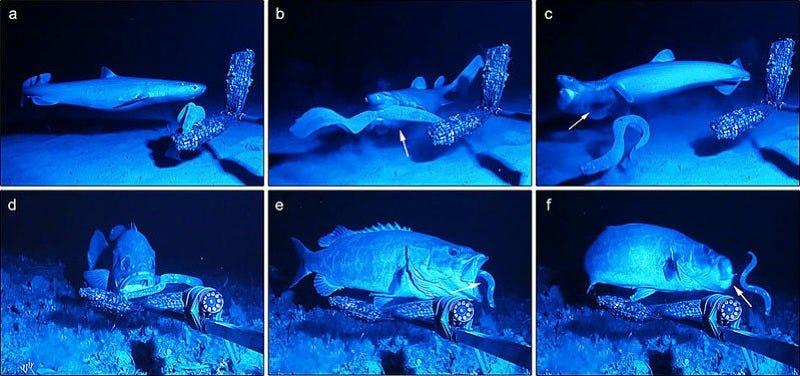 The seal shark Dalatias licha (a–c) and the wreckfish Polyprion americanus (d–f) fare poorly when they attack the hagfish. (Image: V. Zintzen et al/Scientific Reports 2011)