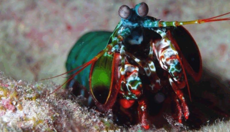 Mantis shrimp SMASH! Image: Klaus Stiefel on flickr.