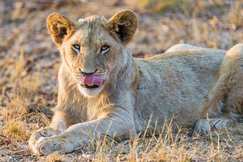 Illustration for article titled Un grupo de cazadores furtivos irrumpe en una reserva de Sudáfrica y acaba devorado por los leones