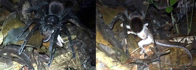 Una araña Pamphobeteus sp arrastrando al oposum al que acaba de capturar.