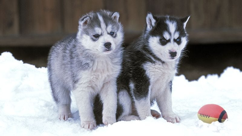 Illustration for article titled Huskies Unstoppable During Cold-Weather Puppy Bowl