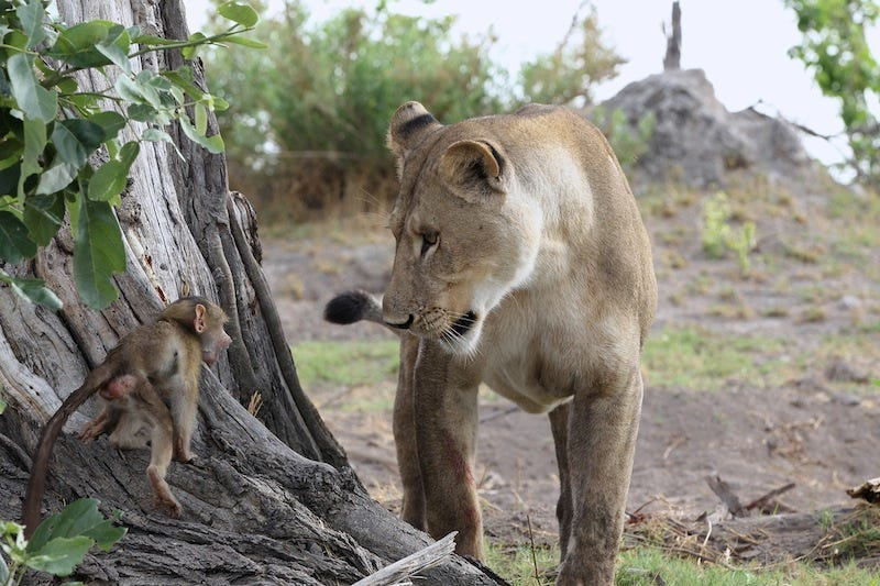 Illustration for article titled Harrowing Photos Capture Tense Encounter Between Baby Baboon And Lion