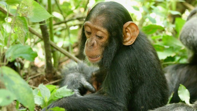 A 2-Year-Old Chimp Named Betty Died From Common Cold Virus We Didn t Even Know Chimps Could Catch