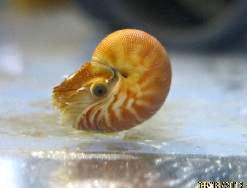 Illustration for article titled Your moment of cute: baby nautilus edition