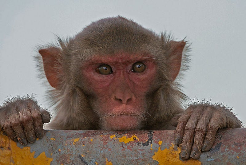Illustration for article titled Ethicists Voice Concerns Over Creation of Humanized 'Autistic' Monkeys