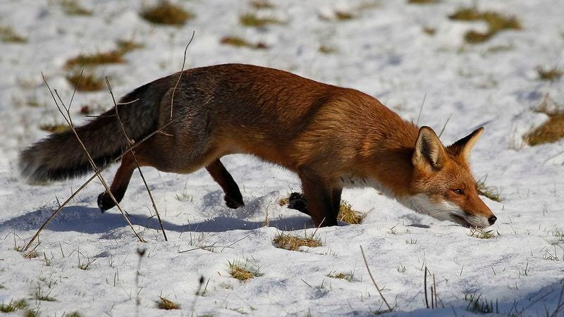 Biologists Confirm Foxes Sneakiest Little Fuckers In Animal Kingdom