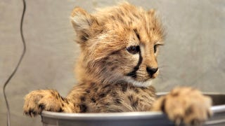 Illustration for article titled This Cheetah Cub's Cuteness Can't Be Measured