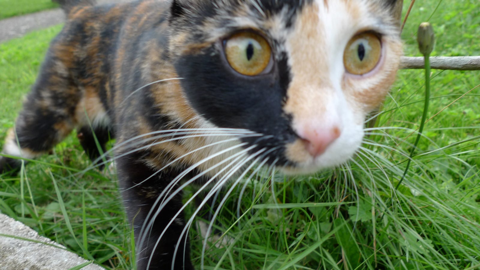 How tortoiseshell cats show the limits of cloning - Images of tortoiseshell cats ...