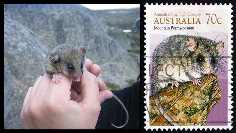 The critically-endangered mountain pygmy possum