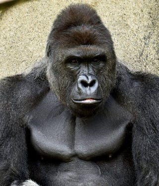 racists prove that they care more about gorillas than black children