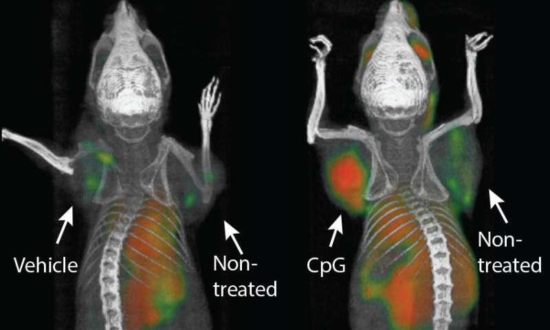 Una nueva terapia logra eliminar todo rastro de cáncer con linfoma en ratones