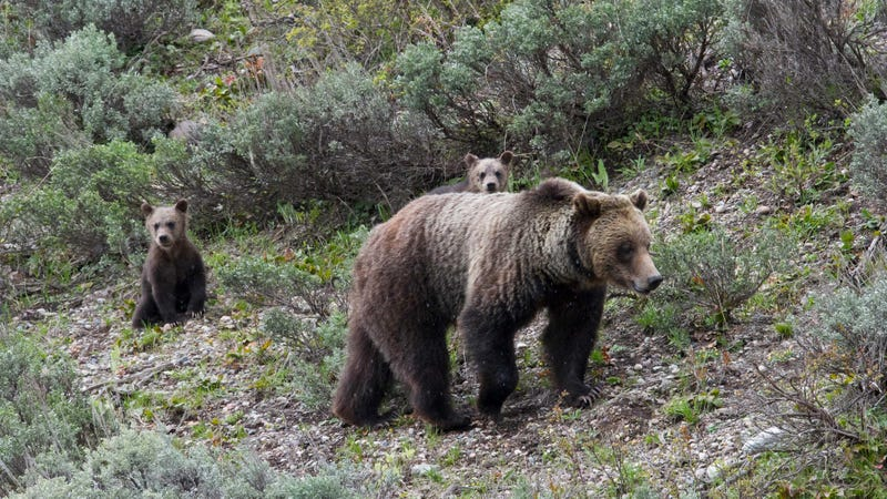 A grizzly bear and her cubs in Grand Teton National Park.