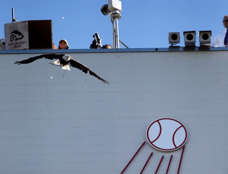 Illustration for article titled Bald Eagle Ignores Trainer, Leaves Dodger Stadium