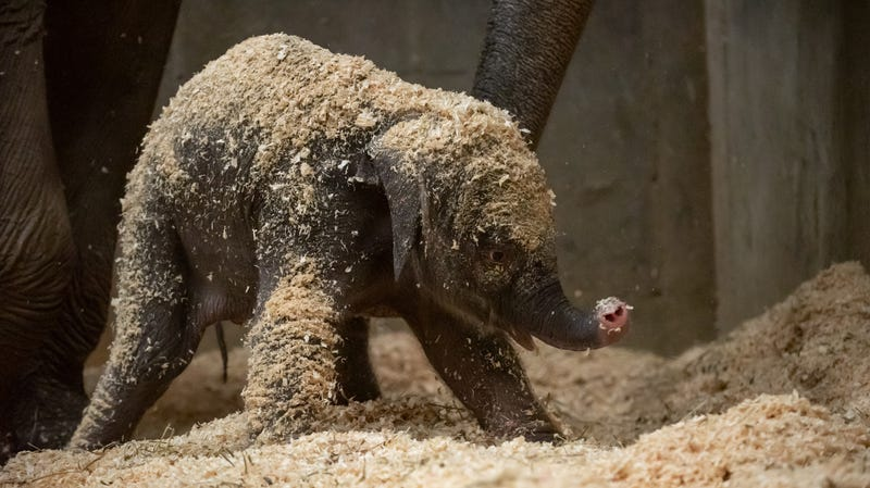 Baby playing in wood shavings that help absorb its urine but, more importantly, provide some fun!
