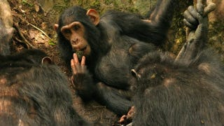 Illustration for article titled Scientists Watch How New Technologies Spread Among Wild Chimps