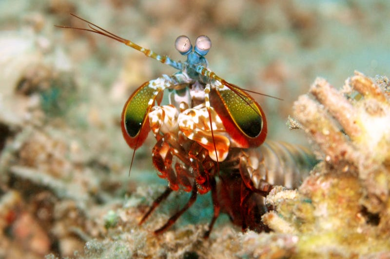 Illustration for article titled Why Not Use The Mantis Shrimp As A School Mascot?