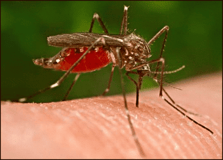 Illustration for article titled Device may stop dengue fever by slaughtering pregnant mosquitos